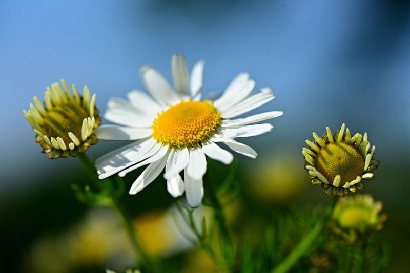 Chamomile Fragrant Herbs