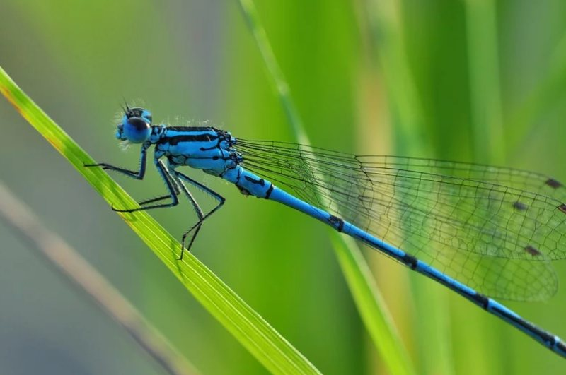Dragonfly Beneficial Organisms