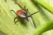 Rid Your Yard of Ticks – Organic Tick Control