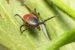 Rid Your Yard of Ticks – Organic Tick Control